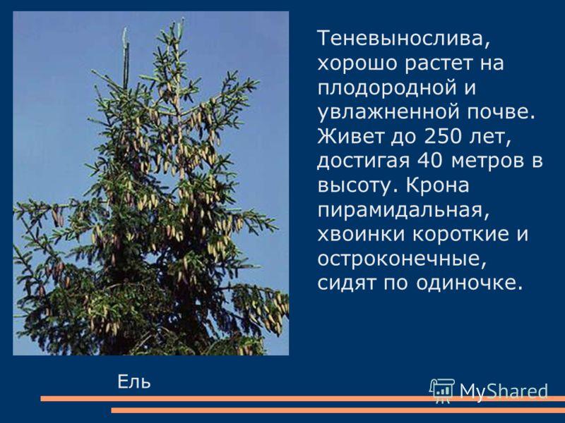 Ель Теневынослива, хорошо растет на плодородной и увлажненной почве. Живет до 250 лет, достигая 40 метров в высоту. Крона пирамидальная, хвоинки короткие и остроконечные, сидят по одиночке.