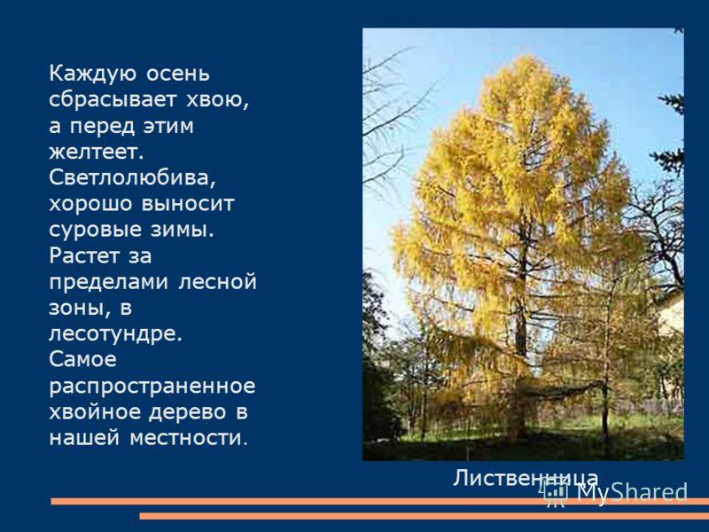 Лиственница Каждую осень сбрасывает хвою, а перед этим желтеет. Светлолюбива, хорошо выносит суровые зимы. Растет за пределами лесной зоны, в лесотундре. Самое распространенное хвойное дерево в нашей местности.