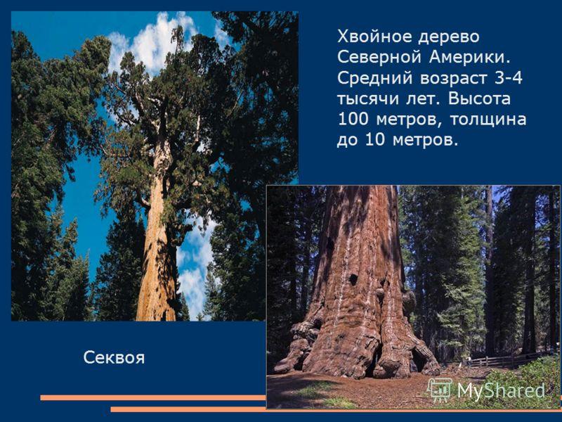 Секвоя Хвойное дерево Северной Америки. Средний возраст 3-4 тысячи лет. Высота 100 метров, толщина до 10 метров.