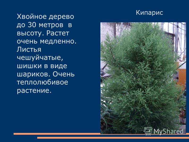 Кипарис Хвойное дерево до 30 метров в высоту. Растет очень медленно. Листья чешуйчатые, шишки в виде шариков. Очень теплолюбивое растение.