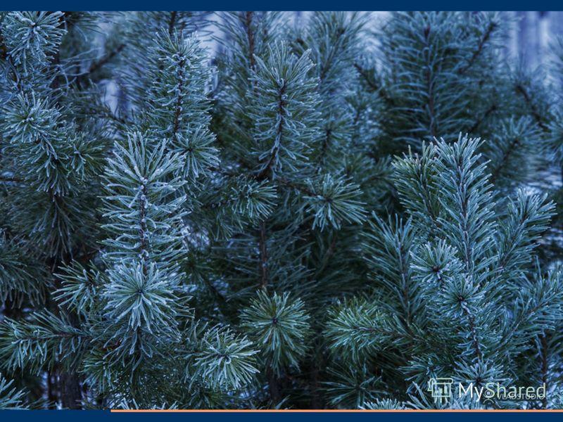 9. Голосеменные растения выделяют кислород в процессе фотосинтеза. 10. Хвойные растения выделяют фитонциды- особые вещества, которые убивают вредные бактерии. 11. Хвойные леса это места обитания и источник пищи( хвоя, семена шишек) для многих животны