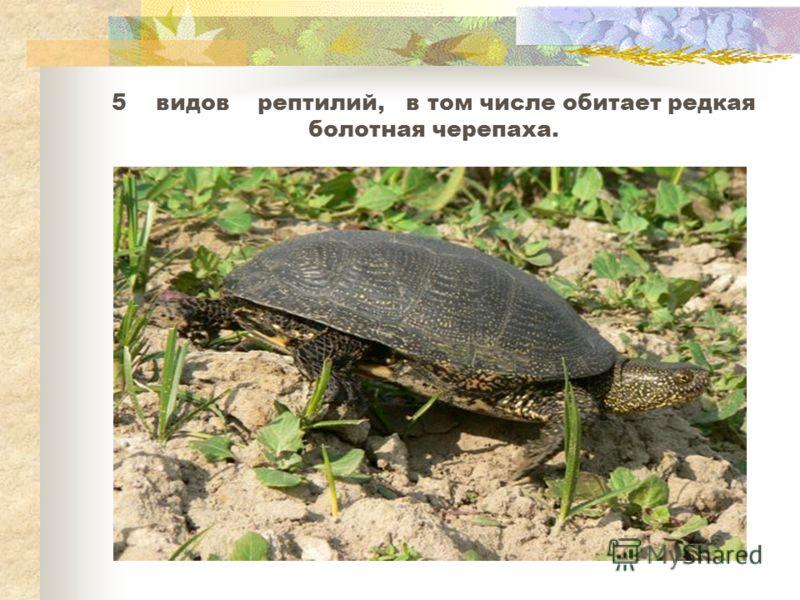 5 видов рептилий, в том числе обитает редкая болотная черепаха.