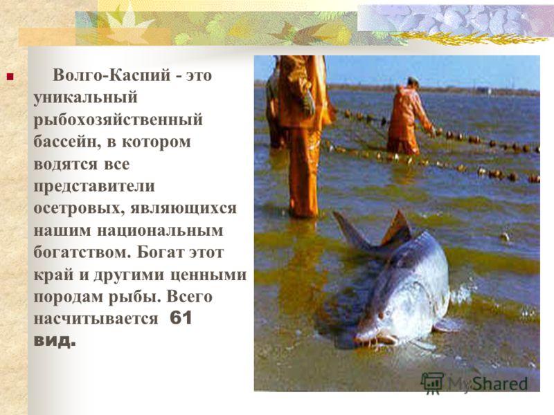 Волго-Каспий - это уникальный рыбохозяйственный бассейн, в котором водятся все представители осетровых, являющихся нашим национальным богатством. Богат этот край и другими ценными породам рыбы. Всего насчитывается 61 вид.