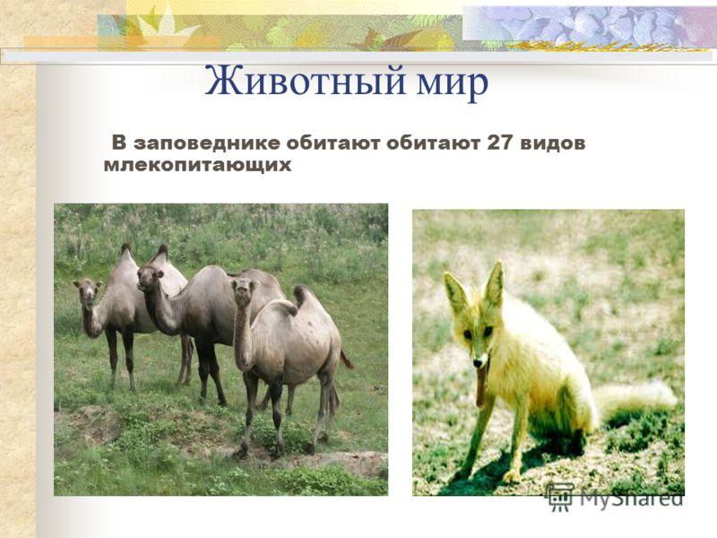 Животный мир В заповеднике обитают обитают 27 видов млекопитающих