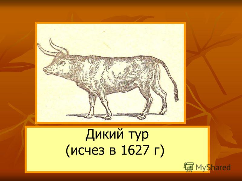 Дикий тур (исчез в 1627 г)