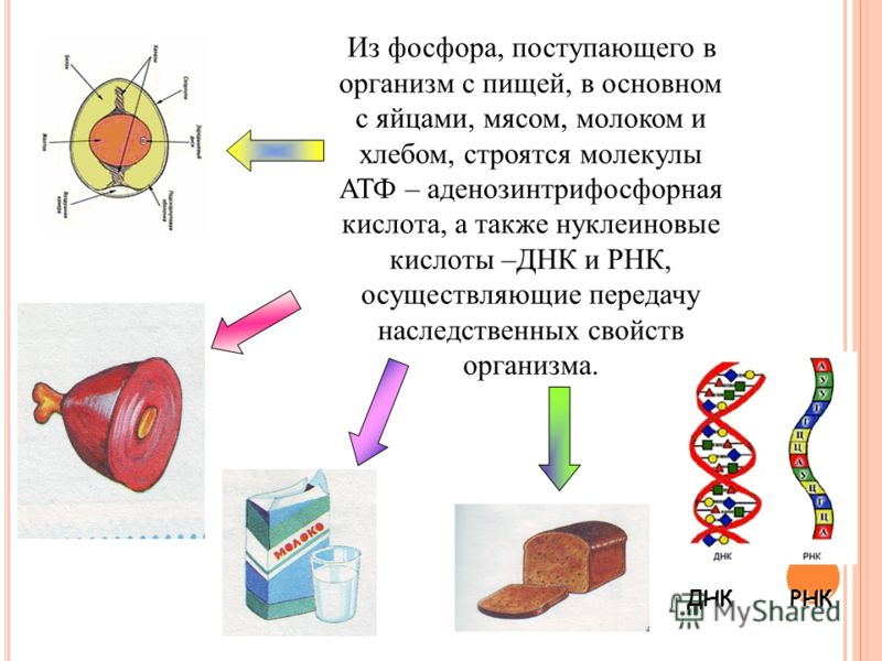 Из фосфора, поступающего в организм с пищей, в основном с яйцами, мясом, молоком и хлебом, строятся молекулы АТФ – аденозинтрифосфорная кислота, а также нуклеиновые кислоты –ДНК и РНК, осуществляющие передачу наследственных свойств организма. ДНКРНК