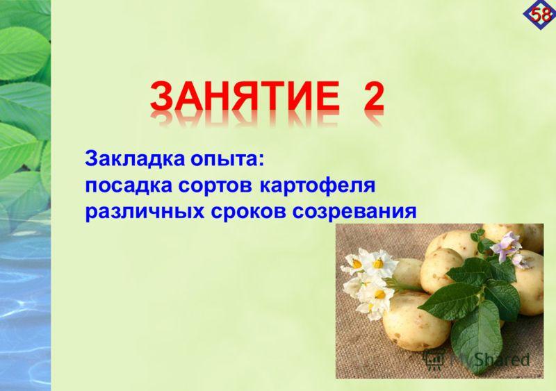 Закладка опыта: посадка сортов картофеля различных сроков созревания 58