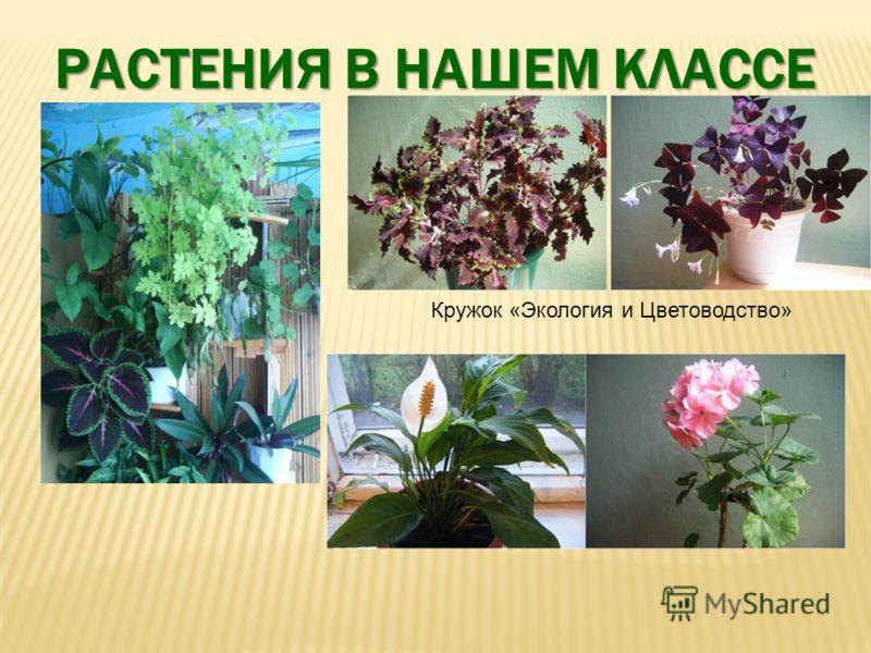 Кружок «Экология и Цветоводство» РАСТЕНИЯ В НАШЕМ КЛАССЕ