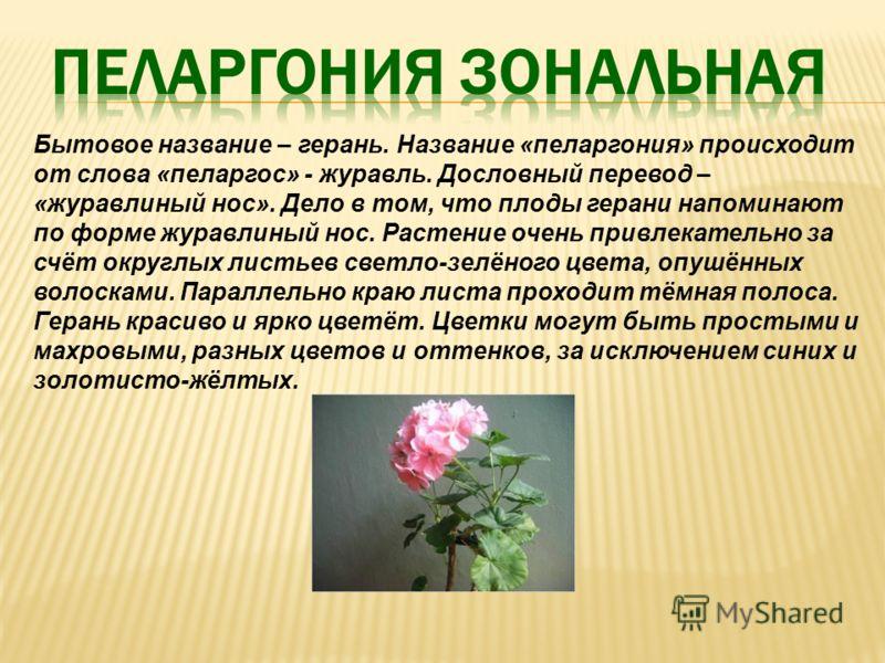 Бытовое название – герань. Название «пеларгония» происходит от слова «пеларгос» - журавль. Дословный перевод – «журавлиный нос». Дело в том, что плоды герани напоминают по форме журавлиный нос. Растение очень привлекательно за счёт округлых листьев с