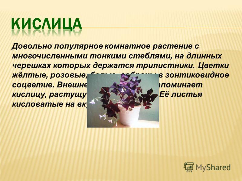 Довольно популярное комнатное растение с многочисленными тонкими стеблями, на длинных черешках которых держатся трилистники. Цветки жёлтые, розовые, белые, собраны в зонтиковидное соцветие. Внешне это растение напоминает кислицу, растущую в лесной ча