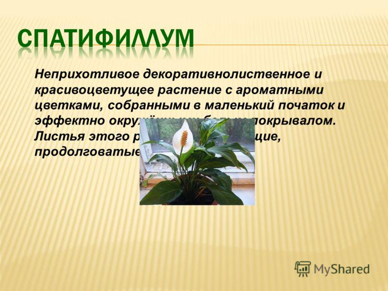 Неприхотливое декоративнолиственное и красивоцветущее растение с ароматными цветками, собранными в маленький початок и эффектно окружёнными белым покрывалом. Листья этого растения блестящие, продолговатые, длиной до 18см.