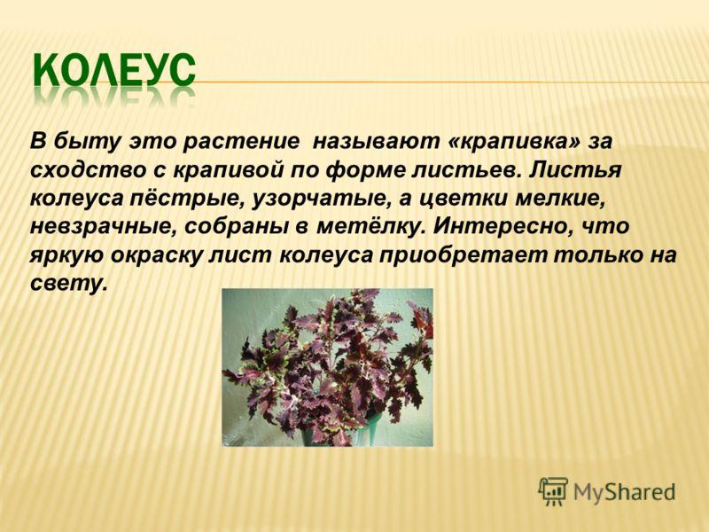 В быту это растение называют «крапивка» за сходство с крапивой по форме листьев. Листья колеуса пёстрые, узорчатые, а цветки мелкие, невзрачные, собраны в метёлку. Интересно, что яркую окраску лист колеуса приобретает только на свету.