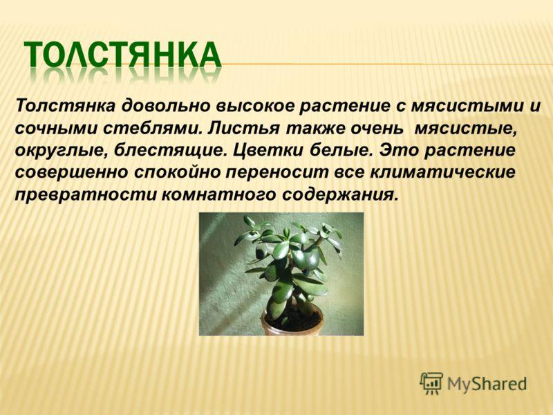 Толстянка довольно высокое растение с мясистыми и сочными стеблями. Листья также очень мясистые, округлые, блестящие. Цветки белые. Это растение совершенно спокойно переносит все климатические превратности комнатного содержания.