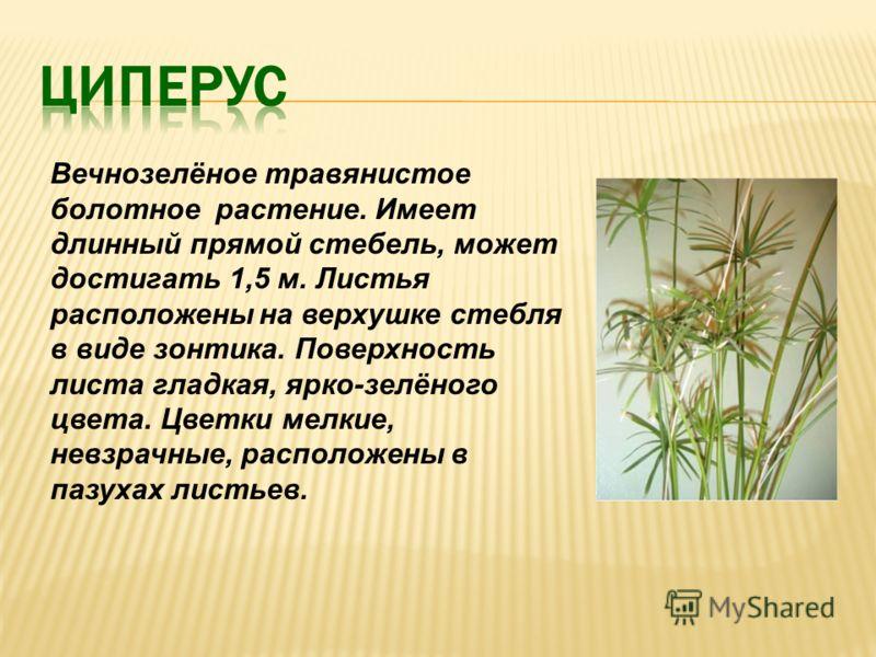Вечнозелёное травянистое болотное растение. Имеет длинный прямой стебель, может достигать 1,5 м. Листья расположены на верхушке стебля в виде зонтика. Поверхность листа гладкая, ярко-зелёного цвета. Цветки мелкие, невзрачные, расположены в пазухах ли