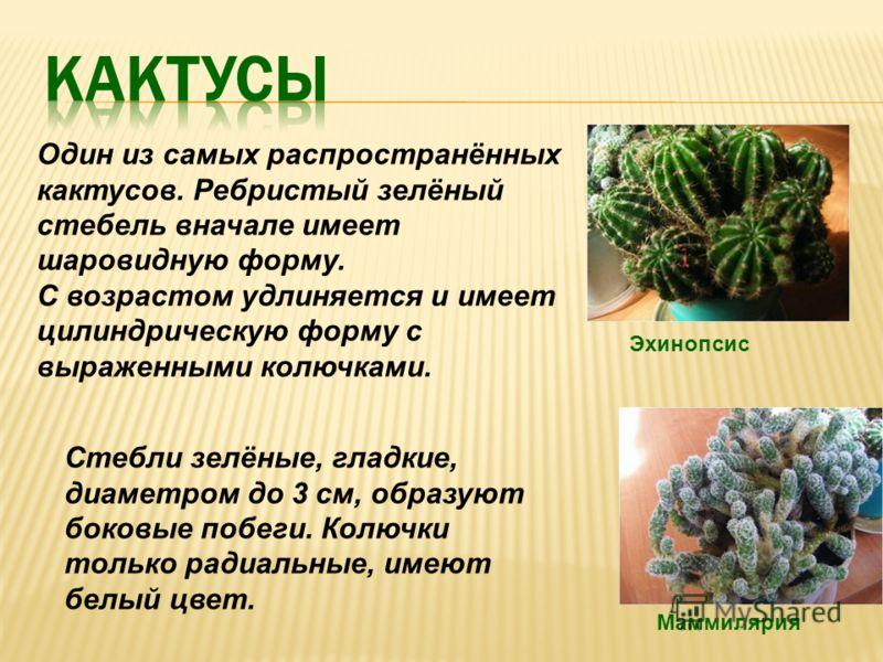Один из самых распространённых кактусов. Ребристый зелёный стебель вначале имеет шаровидную форму. С возрастом удлиняется и имеет цилиндрическую форму с выраженными колючками. Эхинопсис Маммилярия Стебли зелёные, гладкие, диаметром до 3 см, образуют