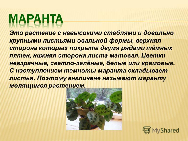 Это растение с невысокими стеблями и довольно крупными листьями овальной формы, верхняя сторона которых покрыта двумя рядами тёмных пятен, нижняя сторона листа матовая. Цветки невзрачные, светло-зелёные, белые или кремовые. С наступлением темноты мар