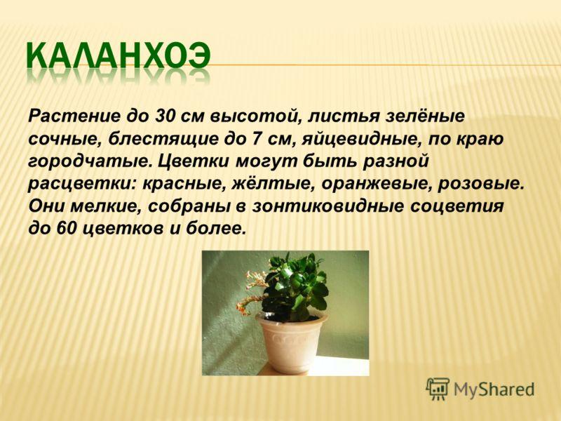 Растение до 30 см высотой, листья зелёные сочные, блестящие до 7 см, яйцевидные, по краю городчатые. Цветки могут быть разной расцветки: красные, жёлтые, оранжевые, розовые. Они мелкие, собраны в зонтиковидные соцветия до 60 цветков и более.