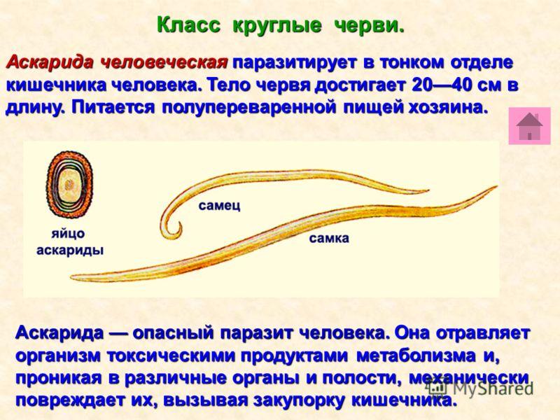 сколько живут глисты в организме человека
