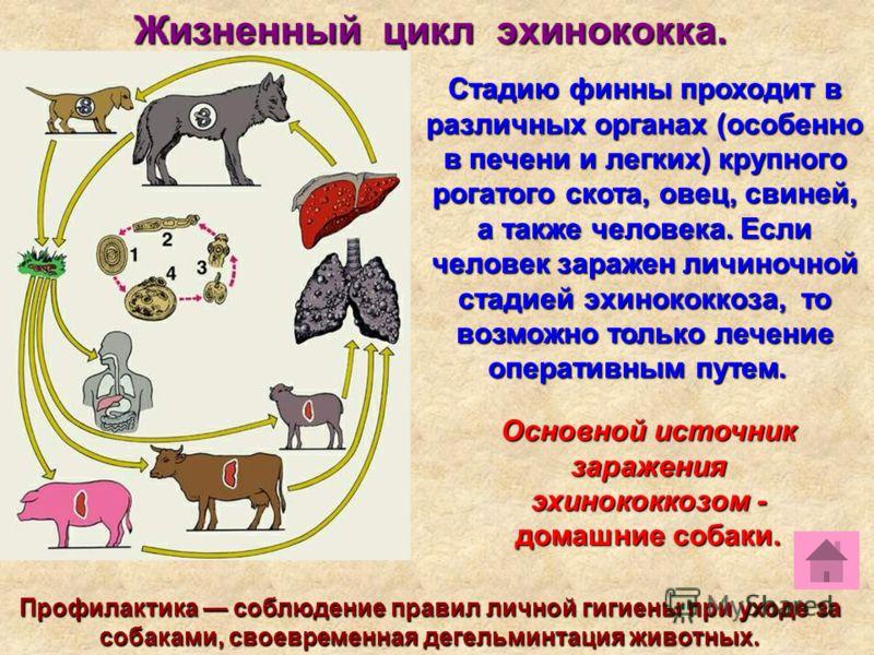 Жизненный цикл эхинококка. Стадию финны проходит в различных органах (особенно в печени и легких) крупного рогатого скота, овец, свиней, а также человека. Если человек заражен личиночной стадией эхинококкоза, то возможно только лечение оперативным пу