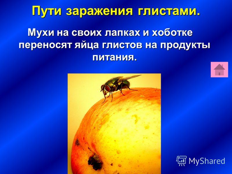 Пути заражения глистами. Мухи на своих лапках и хоботке переносят яйца глистов на продукты питания.