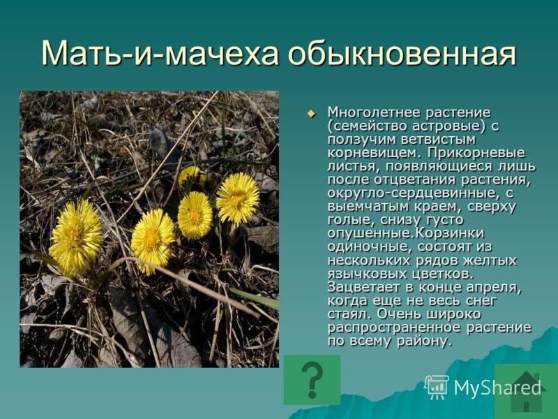Мать-и-мачеха обыкновенная Многолетнее растение (семейство астровые) с ползучим ветвистым корневищем. Прикорневые листья, появляющиеся лишь после отцветания растения, округло-сердцевинные, с выемчатым краем, сверху голые, снизу густо опушенные.Корзин