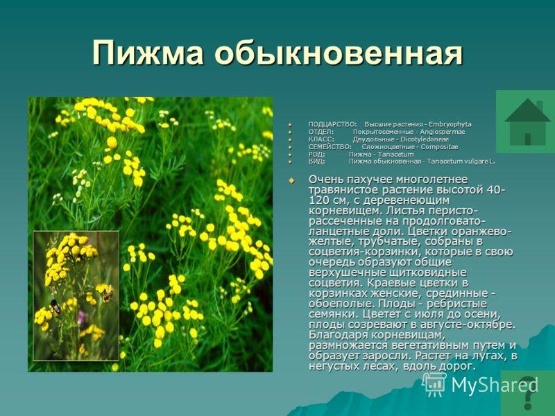 Пижма обыкновенная ПОДЦАРСТВО: Высшие растения - Embryophyta ПОДЦАРСТВО: Высшие растения - Embryophyta ОТДЕЛ: Покрытосеменные - Angiospermae ОТДЕЛ: Покрытосеменные - Angiospermae КЛАСС: Двудольные - Dicotyledoneae КЛАСС: Двудольные - Dicotyledoneae С