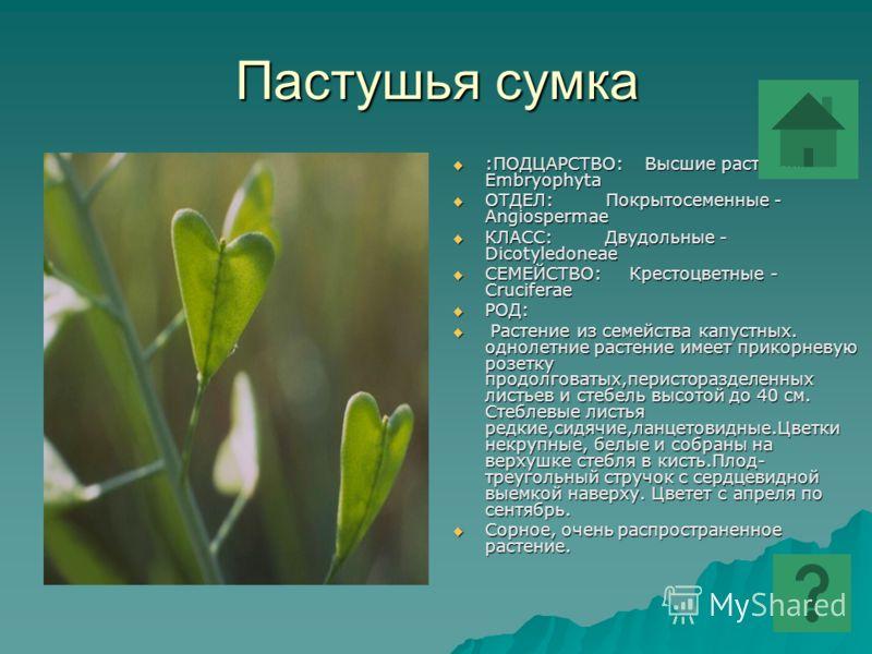 Пастушья сумка :ПОДЦАРСТВО: Высшие растения - Embryophyta :ПОДЦАРСТВО: Высшие растения - Embryophyta ОТДЕЛ: Покрытосеменные - Angiospermae ОТДЕЛ: Покрытосеменные - Angiospermae КЛАСС: Двудольные - Dicotyledoneae КЛАСС: Двудольные - Dicotyledoneae СЕМ
