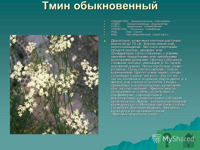 Тмин обыкновенный ПОДЦАРСТВО: Высшие растения - Embryophyta ПОДЦАРСТВО: Высшие растения - Embryophyta ОТДЕЛ: Покрытосеменные - Angiospermae ОТДЕЛ: Покрытосеменные - Angiospermae КЛАСС: Двудольные - Dicotyledoneae КЛАСС: Двудольные - Dicotyledoneae СЕ