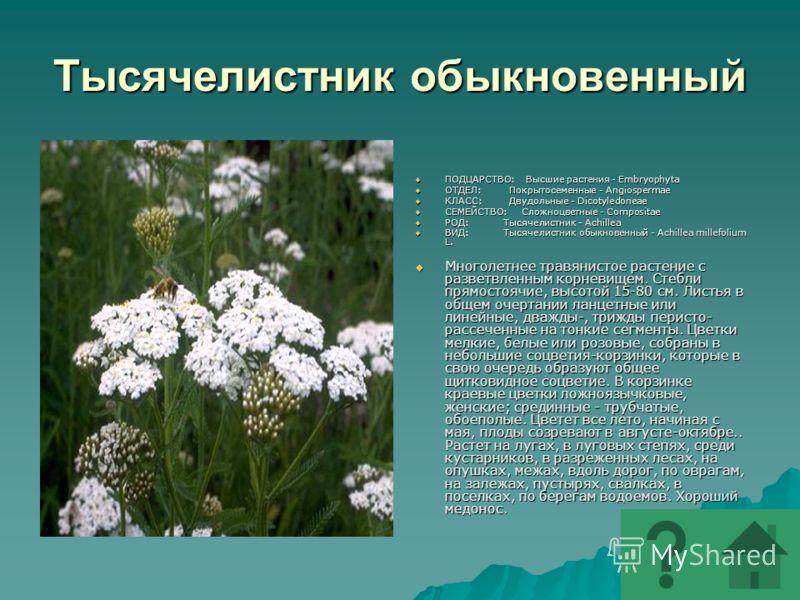 Тысячелистник обыкновенный ПОДЦАРСТВО: Высшие растения - Embryophyta ПОДЦАРСТВО: Высшие растения - Embryophyta ОТДЕЛ: Покрытосеменные - Angiospermae ОТДЕЛ: Покрытосеменные - Angiospermae КЛАСС: Двудольные - Dicotyledoneae КЛАСС: Двудольные - Dicotyle