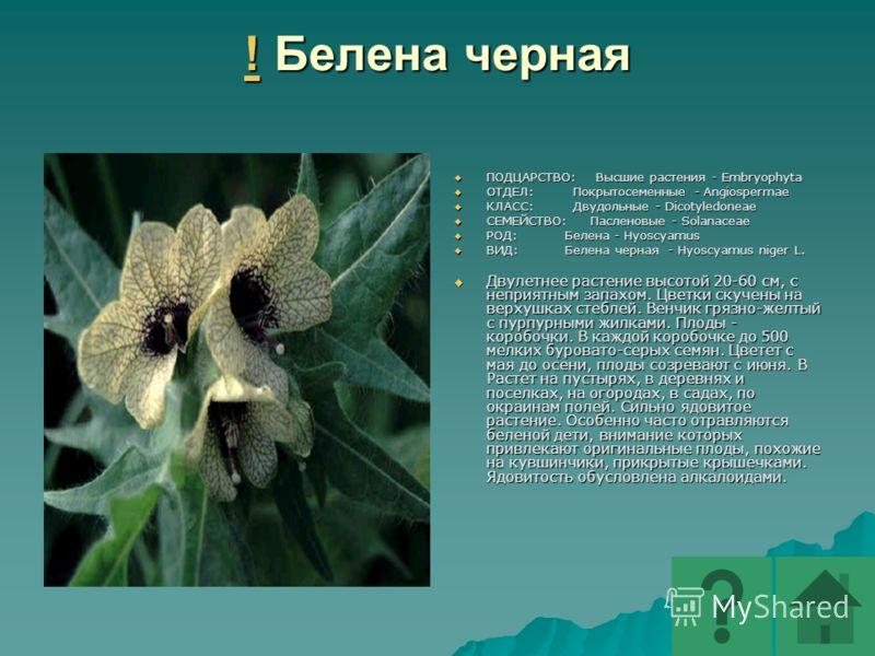 ! Белена черная ! Белена черная ! ПОДЦАРСТВО: Высшие растения - Embryophyta ПОДЦАРСТВО: Высшие растения - Embryophyta ОТДЕЛ: Покрытосеменные - Angiospermae ОТДЕЛ: Покрытосеменные - Angiospermae КЛАСС: Двудольные - Dicotyledoneae КЛАСС: Двудольные - D