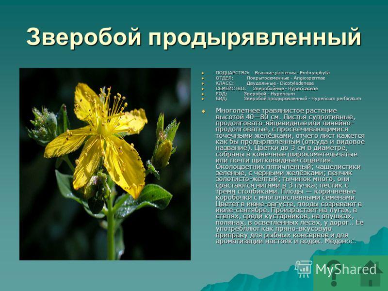 Зверобой продырявленный ПОДЦАРСТВО: Высшие растения - Embryophyta ПОДЦАРСТВО: Высшие растения - Embryophyta ОТДЕЛ: Покрытосеменные - Angiospermae ОТДЕЛ: Покрытосеменные - Angiospermae КЛАСС: Двудольные - Dicotyledoneae КЛАСС: Двудольные - Dicotyledon
