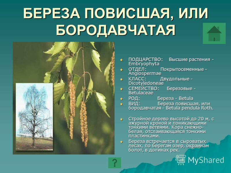 БЕРЕЗА ПОВИСШАЯ, ИЛИ БОРОДАВЧАТАЯ ПОДЦАРСТВО: Высшие растения - Embryophyta ПОДЦАРСТВО: Высшие растения - Embryophyta ОТДЕЛ: Покрытосеменные - Angiospermae ОТДЕЛ: Покрытосеменные - Angiospermae КЛАСС: Двудольные - Dicotyledoneae КЛАСС: Двудольные - D