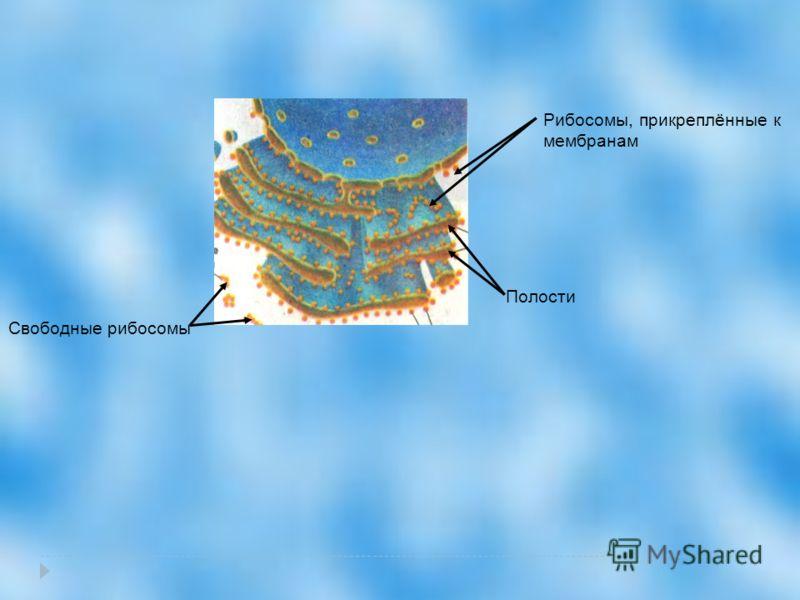 Полости Свободные рибосомы Рибосомы, прикреплённые к мембранам