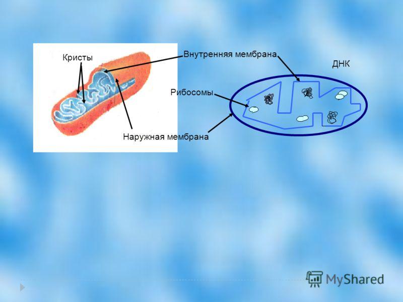 Наружная мембрана Внутренняя мембрана Кристы ДНК Рибосомы