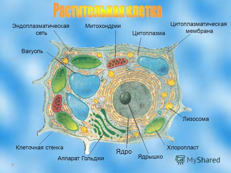 Хлоропласт Лизосома Клеточная стенка Аппарат Гольджи Ядрышко Ядро Цитоплазматическая мембрана Митохондрии Вакуоль Эндоплазматическая сеть Цитоплазма