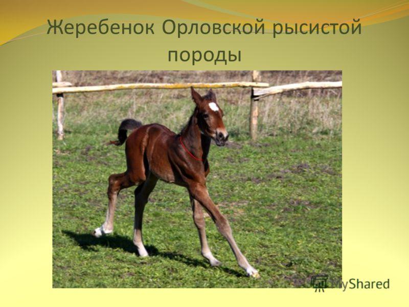 Жеребенок Орловской рысистой породы