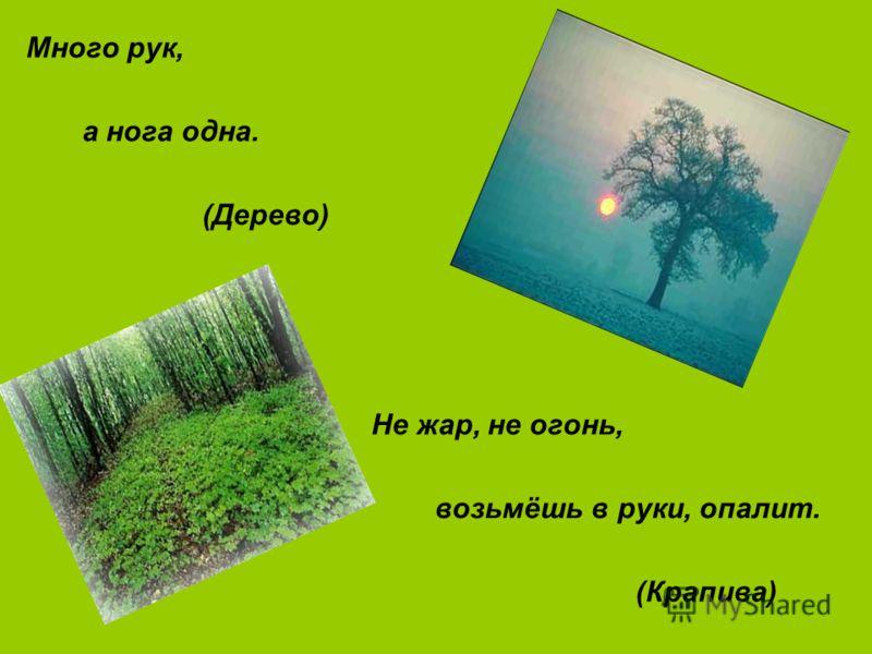 Много рук, а нога одна. (Дерево) Не жар, не огонь, возьмёшь в руки, опалит. (Крапива)