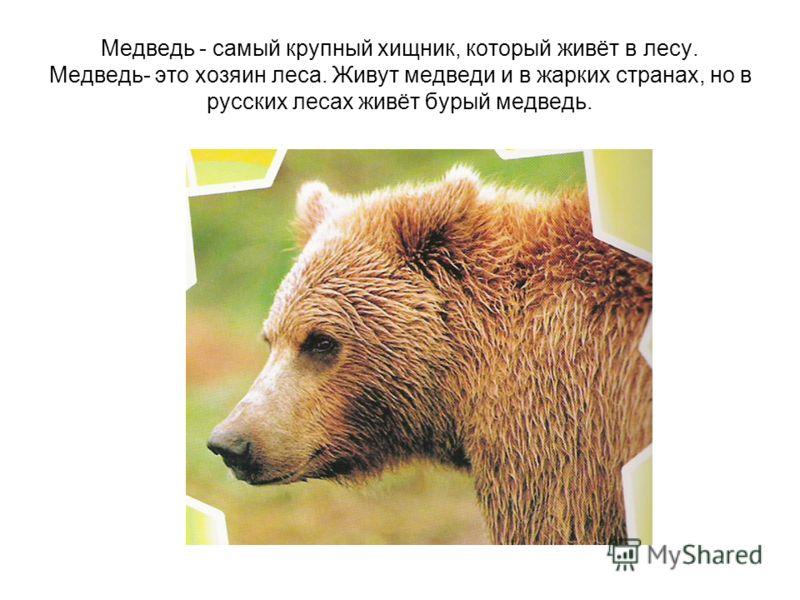 Медведь - самый крупный хищник, который живёт в лесу. Медведь- это хозяин леса. Живут медведи и в жарких странах, но в русских лесах живёт бурый медведь.