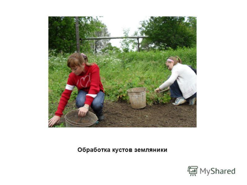 Обработка кустов земляники