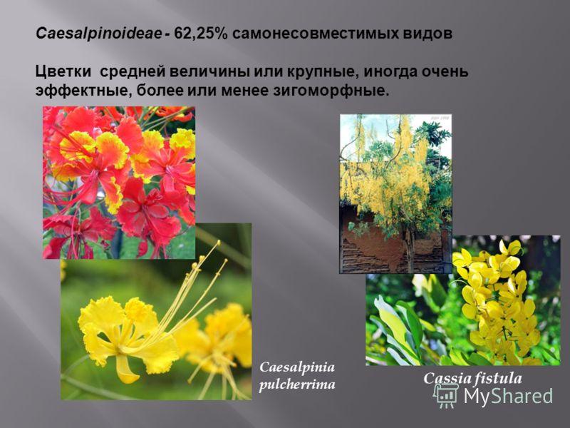 Caesalpinoideae - 62,25% самонесовместимых видов Цветки средней величины или крупные, иногда очень эффектные, более или менее зигоморфные. Caesalpinia pulcherrima Cassia fistula