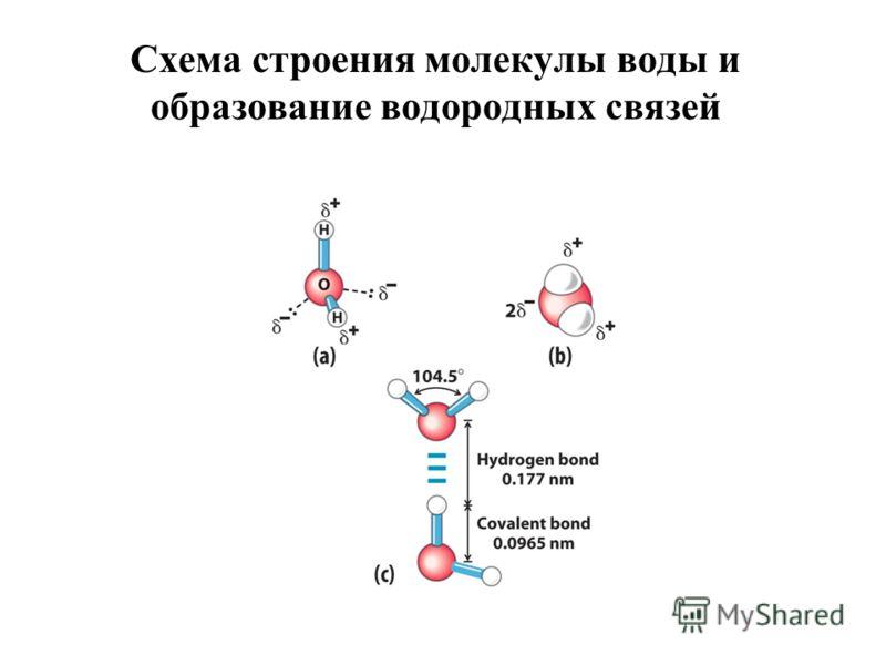 Схема строения молекулы воды и образование водородных связей