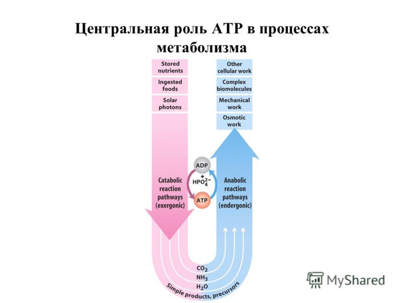 Центральная роль АТР в процессах метаболизма
