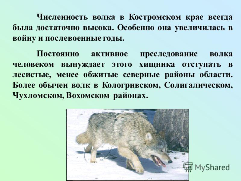 Численность волка в Костромском крае всегда была достаточно высока. Особенно она увеличилась в войну и послевоенные годы. Постоянно активное преследование волка человеком вынуждает этого хищника отступать в лесистые, менее обжитые северные районы обл