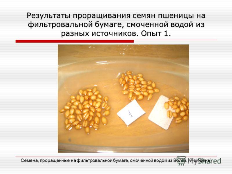 Результаты проращивания семян пшеницы на фильтровальной бумаге, смоченной водой из разных источников. Опыт 1. Семена, проращенные на фильтровальной бумаге, смоченной водой из Волги. (7-ой день)