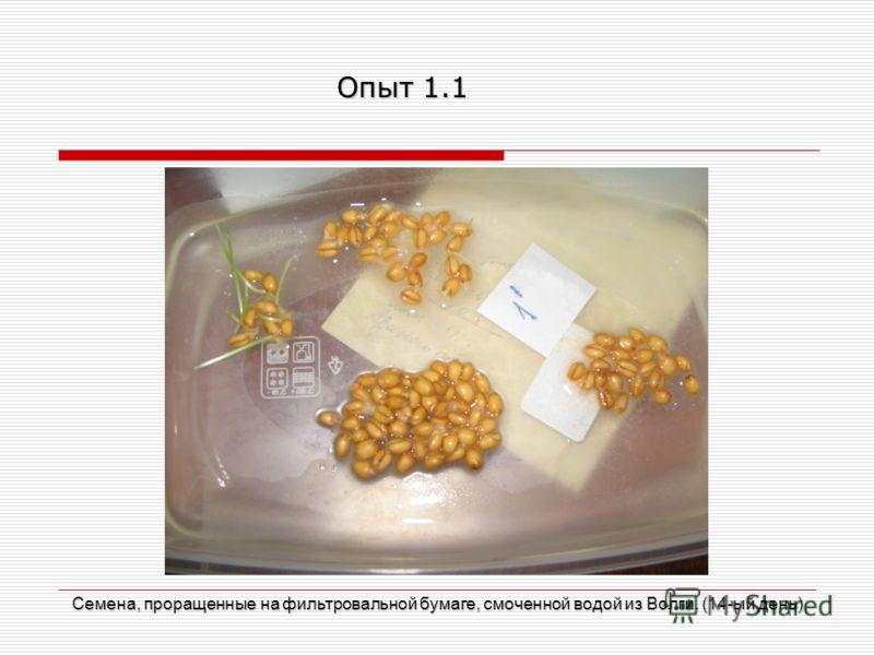 Семена, проращенные на фильтровальной бумаге, смоченной водой из Волги. (14-ый день) Опыт 1.1