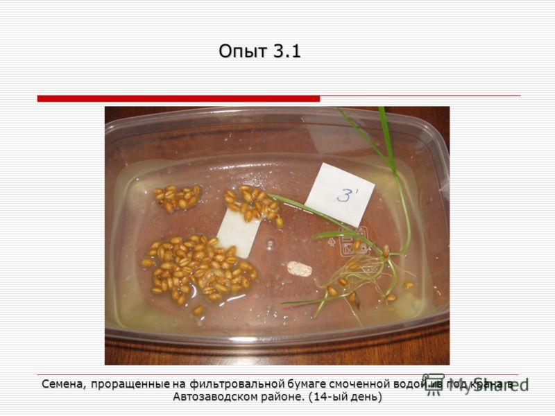 Семена, проращенные на фильтровальной бумаге смоченной водой из под крана в Автозаводском районе. (14-ый день) Опыт 3.1