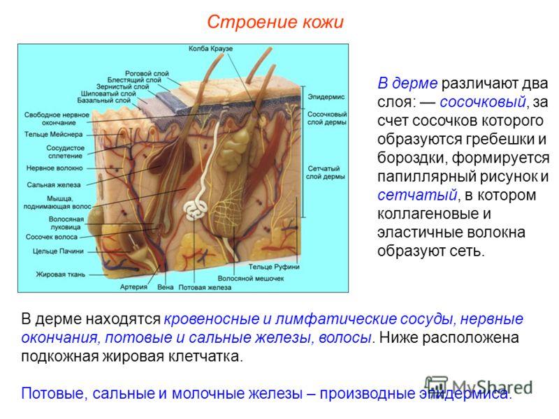Строение кожи В дерме различают два слоя: сосочковый, за счет сосочков которого образуются гребешки и бороздки, формируется папиллярный рисунок и сетчатый, в котором коллагеновые и эластичные волокна образуют сеть. В дерме находятся кровеносные и лим