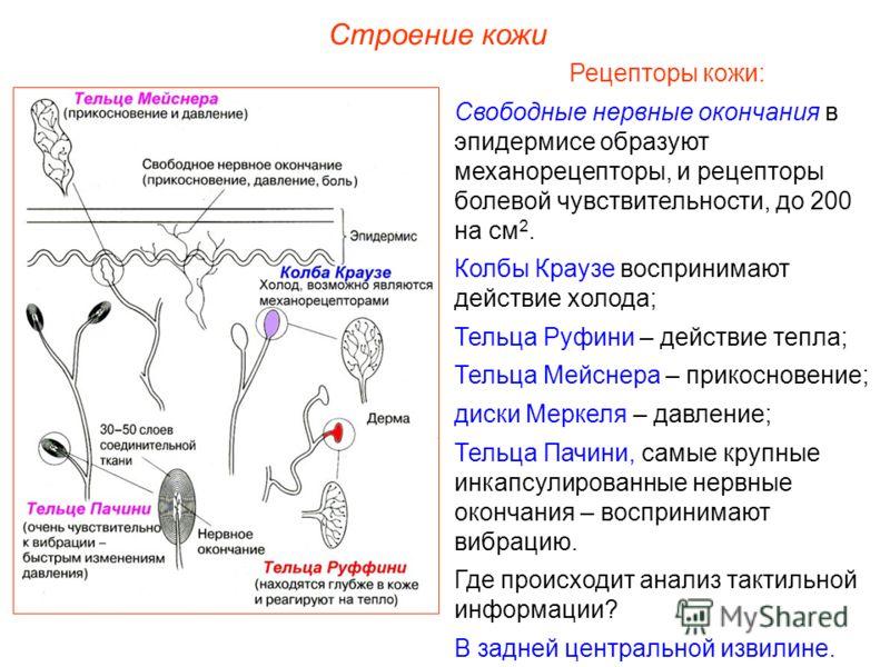 Строение кожи Рецепторы кожи: Свободные нервные окончания в эпидермисе образуют механорецепторы, и рецепторы болевой чувствительности, до 200 на см 2. Колбы Краузе воспринимают действие холода; Тельца Руфини – действие тепла; Тельца Мейснера – прикос