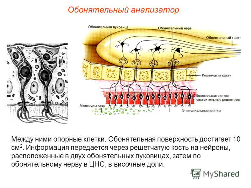 Обонятельный анализатор Между ними опорные клетки. Обонятельная поверхность достигает 10 см 2. Информация передается через решетчатую кость на нейроны, расположенные в двух обонятельных луковицах, затем по обонятельному нерву в ЦНС, в височные доли.