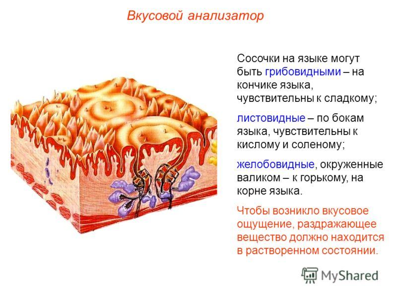 Вкусовой анализатор Сосочки на языке могут быть грибовидными – на кончике языка, чувствительны к сладкому; листовидные – по бокам языка, чувствительны к кислому и соленому; желобовидные, окруженные валиком – к горькому, на корне языка. Чтобы возникло
